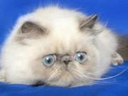 Фелинологическая система Pedigree cat Association (PCA)