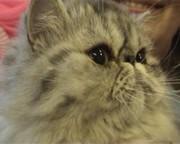 Питомники клубов кошек PCA