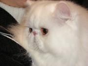 Вступление в клубы кошек PCA