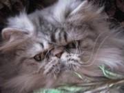 Племенное разведение кошек
